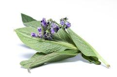 De bloemen en de bladeren van het smeerwortelkruid stock afbeelding