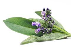 De bloemen en de bladeren van het smeerwortelkruid stock foto's