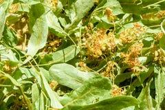 De Bloemen en de Bladeren van Lindeboomtilia royalty-vrije stock foto