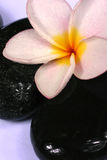 De bloemen en de kiezelstenen van Frangipane Royalty-vrije Stock Afbeeldingen