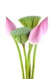 De bloemen en de peulen van Lotus Stock Foto's