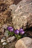 De bloemen en de steen van de lente Royalty-vrije Stock Foto
