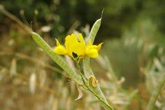 De bloemen en de vruchten van Spartiumjunceum - weaver& x27; s bezem Stock Afbeeldingen