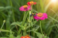 De bloemen en de wesp van Zinnia Royalty-vrije Stock Afbeeldingen