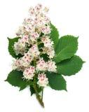 De bloemen en het blad van de paardekastanje Royalty-vrije Stock Foto's