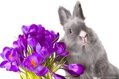 De bloemen en het konijntje van de krokus Royalty-vrije Stock Foto's