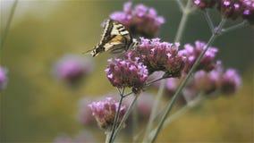 De bloemen en de vlinder van ijzerkruidbonariensis, sluiten omhoog stock video