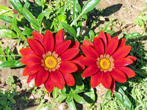 De bloemen Februari 2012 van Ramatgan park red gazania Royalty-vrije Stock Foto