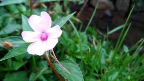 De bloemen groeien in mooie kleuren stock video