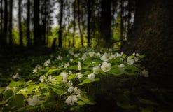 De bloemen in het bos Stock Fotografie