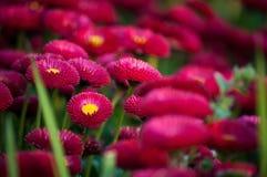 De bloemen kleuren fuchsia Royalty-vrije Stock Foto's