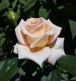 De bloemen, kleuren, namen toe, gekleurd, room, installatie, macro, beeld, wit, close-up, roze, achtergronden, aard, groene versh Royalty-vrije Stock Afbeeldingen