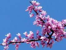Of de bloemen Maart 2012 van Yehuda redbud Royalty-vrije Stock Foto's