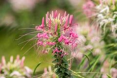 De bloemen met avondzon, Cleome-hassleriana van bloemcleome, spin bloeit, spininstallaties, spinonkruid, zachte nadruk Royalty-vrije Stock Foto's