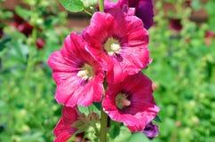 De bloemen namen malve op een groene achtergrond toe royalty-vrije stock foto