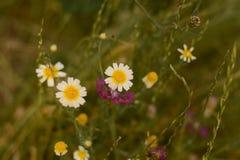 De bloemen op het gebied Stock Afbeelding