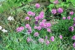 De bloemen Overzeese van Armeriamaritima roze zuinigheid in de lentetuin royalty-vrije stock foto