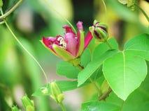 De bloemen of de Passiebloembloembloei en knop van de dameMargaret hartstocht royalty-vrije stock foto's