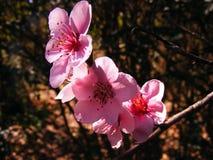 De bloemen van de abrikozenboom royalty-vrije stock afbeeldingen