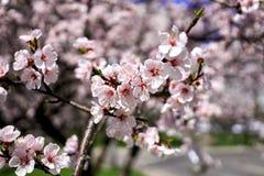 De bloemen van de abrikozenlente stock foto's