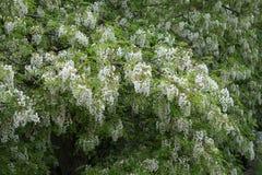 De bloemen van de acaciaboom Stock Afbeeldingen