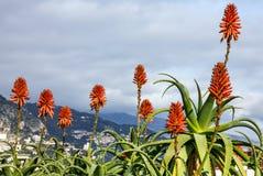 De bloemen van aloëvera in het landschap van Monaco Stock Foto's