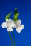De Bloemen van Alstroemeria op Blauwe Achtergrond royalty-vrije stock foto