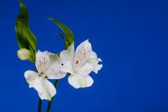 De Bloemen van Alstroemeria op Blauwe Achtergrond stock afbeelding