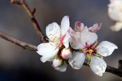 De bloemen van amandel Stock Foto