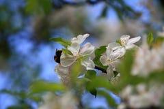 De bloemen van Apple Royalty-vrije Stock Foto