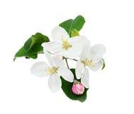 De bloemen van Apple Royalty-vrije Stock Foto's