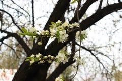 De bloemen van Apple Tedere witte appelbloesem royalty-vrije stock fotografie