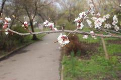 De bloemen van Apple Tedere witte appelbloesem stock foto's