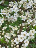 De bloemen van Apple Tedere witte appelbloesem royalty-vrije stock afbeelding