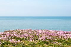 De bloemen van Armeriamaritima met het erachter overzees Royalty-vrije Stock Foto
