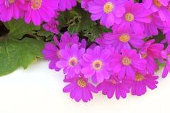 De bloemen van bloemistencineraria Stock Afbeelding