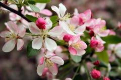 De bloemen van bomen in de lente Stock Fotografie
