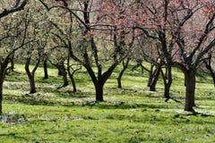 De bloemen van bomen in de lente Royalty-vrije Stock Afbeelding