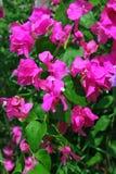 De bloemen van bougainvillea stock afbeeldingen