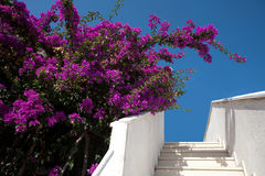 De bloemen van bougainvillea Royalty-vrije Stock Foto's