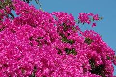 De Bloemen van bougainvillea Royalty-vrije Stock Afbeeldingen
