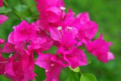 De bloemen van bougainvillea Royalty-vrije Stock Fotografie