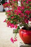De bloemen van bougainvillea in een terras Royalty-vrije Stock Foto's