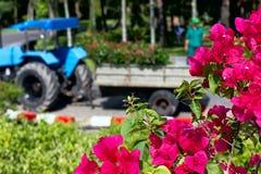 De bloemen van bougainvillea in een tuin Stock Fotografie