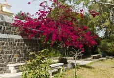 De bloemen van bougainvillea Stock Foto's