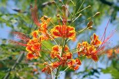 De bloemen van Caesalpiniapulcherrima Stock Afbeelding
