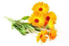 De bloemen van Calendula Royalty-vrije Stock Afbeeldingen
