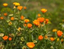 De bloemen van Calendula Stock Fotografie