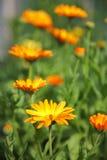De bloemen van Calendula Stock Foto