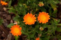 De Bloemen van Calendula (Calendula Officinalis) Royalty-vrije Stock Foto's